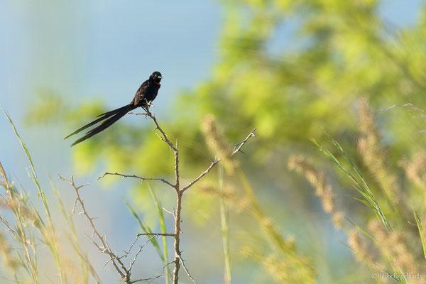 Ein red-collared widowbird (Euplectes ardens), der in der Balzzeit sehr lange Steuerfedern aufweist.
