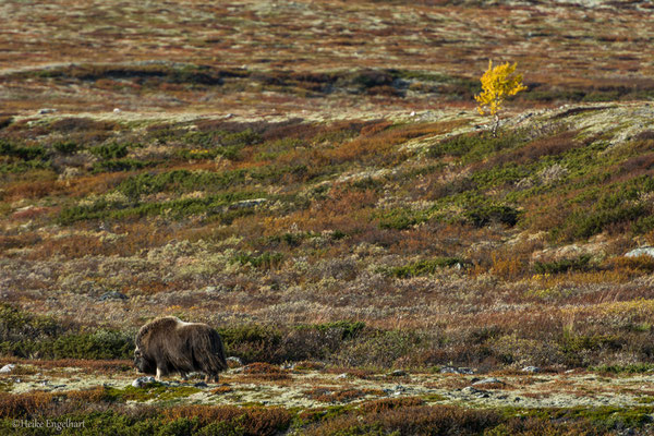 Moschusochse, Dovrefjell NP, Norwegen