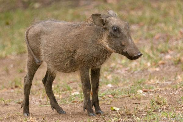 Ein junges Warzenschwein. Aufpassen sollte man, wenn die Mutter naht. Wie unsere Wildschweine sind die Tiere äußerst wehrhaft.