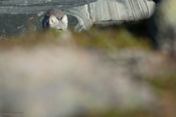 Junger Polarfuchs, Norwegen