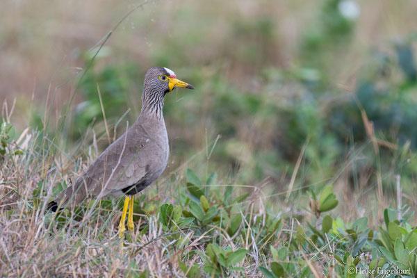 Bekannt ist der iSimangaliso-Wetland-Park für seine vielfältige Vogelwelt. Hier ein African Wattled Lapwing.