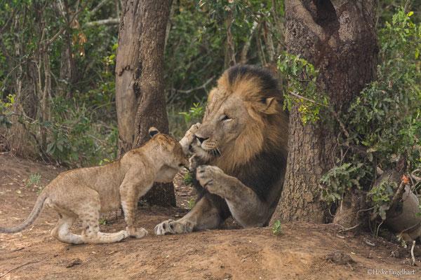 Der Kleine wird mit der Löwenpranke zur Räson gebracht.