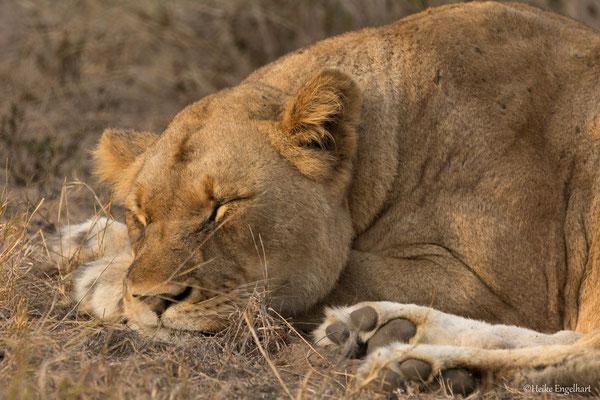 Das Löwenrudel in der Nähe des Wasserlochs ruht sich in der ersten Morgensonne auf.
