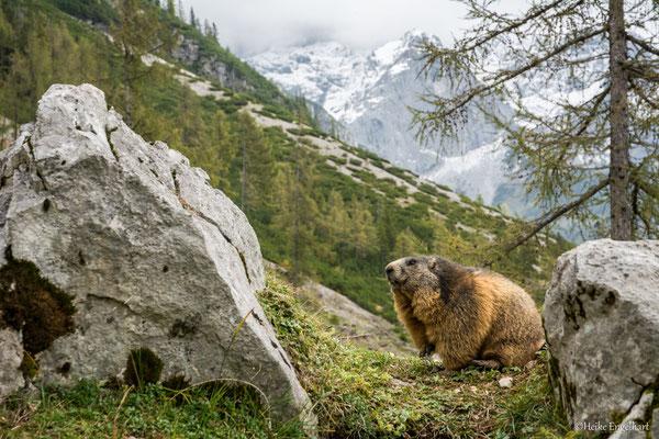 Murmeltierkolonie in Österreich