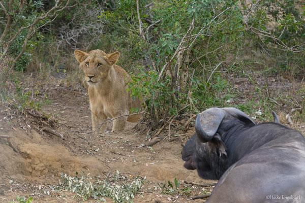 So richtig weiß der Löwe nicht, was er von dem relaxten Büffel zu halten hat.