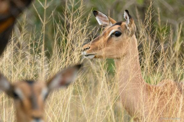 Impalas! Meine Lieblingsantilopen, weil sie so unvergleichlich schön und grazil sind.