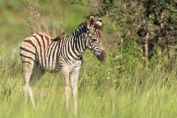 Ein Zebrajunges mit blutendem Ohr, an dem auch immer wieder der Madenhacker herumhackt. Symbiose oder Parasit ist hier die Frage?