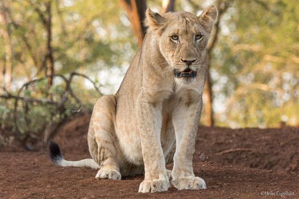 Es ist immer unterhaltsam, Löwen zu beobachten - jedenfalls, wenn sie nicht schlafen ;-)