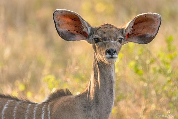 Meine Güte - der Kleine hat wirklich riesengroße Ohren!