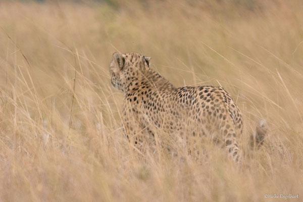 Einer der drei Gepardenbrüder kurz vor der Warzenschweinsichtung.