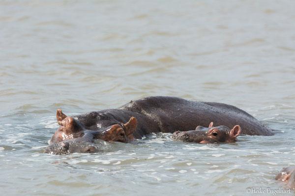 An der Seite von Mutter Hippo ist es dann doch am schönsten.