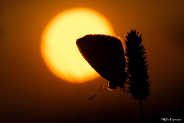Bläuling bei Sonnenaufgang