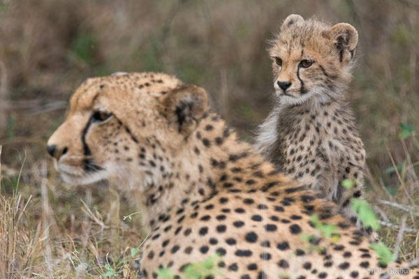 Eine Gepardenmama hat sich mit ihren vier Kleinen in den Busch zurück gezogen.