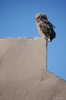 Jungeule, Südafrika