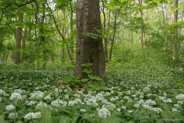 Bärlauchblüte im NSG Kühkopf