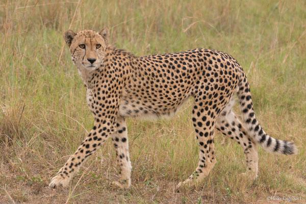 Dieser Gepard gehört zu drei Brüdern, die zusammen jagen gehen.