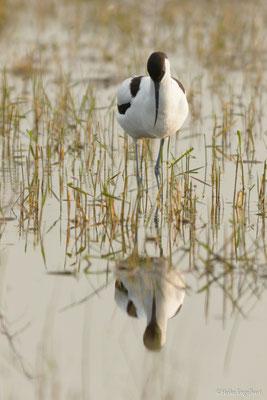 Einer meine Favoriten ist der Säbelschnäbler (Recurvirostra avosetta)