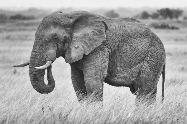 Elefantenbullen sind häufig allein unterwegs.