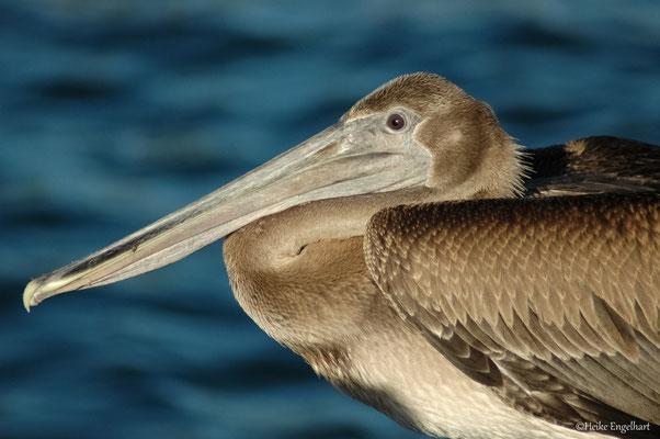 Brauner Pelikan, Venezuela