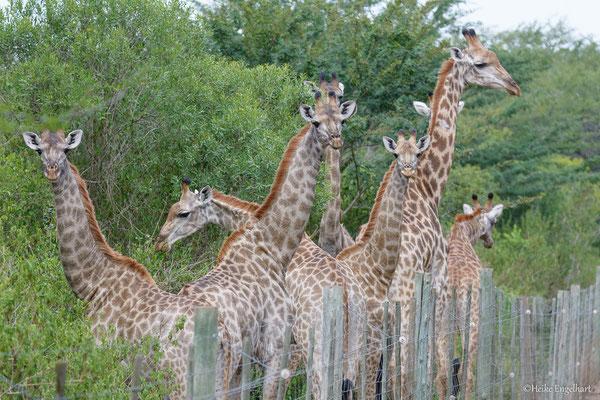 """Die Giraffen auf der """"falschen"""" Seite."""