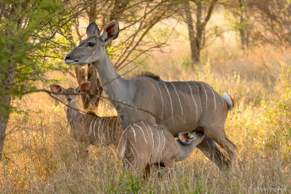 März ist in Südafrika ein guter Monat, um die Jungtiere der Antilopen beobachten zu können.