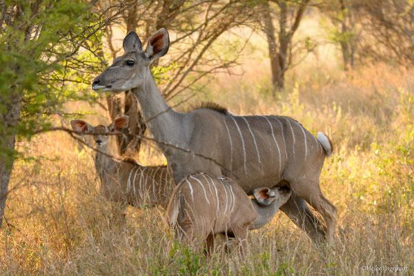 Ein Kudu-Junges wird gesäugt.