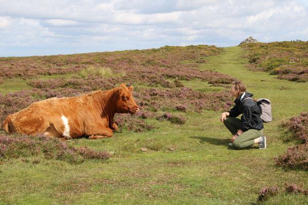 Dartmoore Cattle