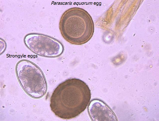 Wormteq Horse Worm Egg Count Tests Horse Worm Egg Count
