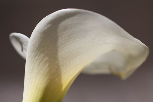 According to Leilah, the white and yellow flutes behind my apartment are White Lilies or Zenbuq Abiad. April, 2014