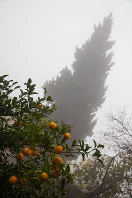Towering over the garden is a single Cyprus tree. The tree is home to a small colony of bats that feed over the garden during warm months. Here fog portends winter. December, 2013