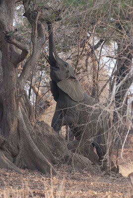 South Luangwa Nationalpark
