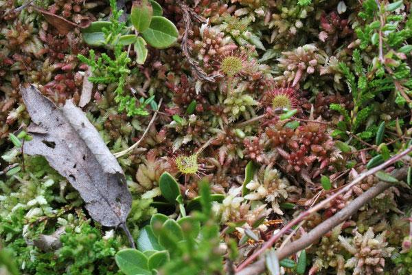 """Drosera rotundifolia/ """"Rundblättriger Sonnentau"""" im Dürnbergermoor, Österreich/ Austria"""