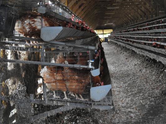 2016年撮影 日本の採卵養鶏場