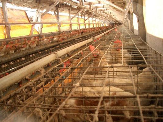 2013年撮影 日本の採卵養鶏場