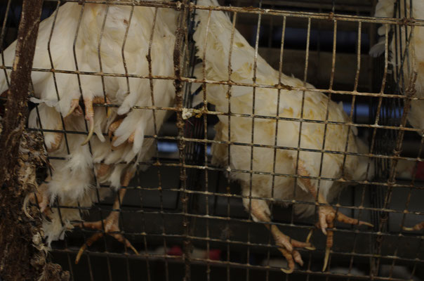 2011年撮影 日本の採卵養鶏場