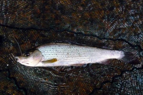 Fliegenfischen und Spinnfischen in der Kinzig und am Main / Äsche