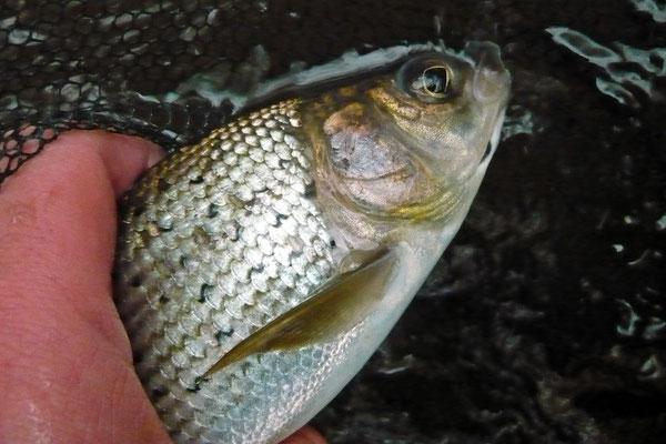Fliegenfischen auf Äsche in dFliegenfischen auf Äsche in der Kinzig Hessener Kinzig Hessen