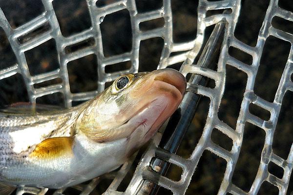 Fliegenfischen in Hessen auf Äsche