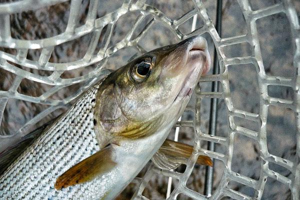 Der hessische Fliegenfischer geht auf Äschenjagd.