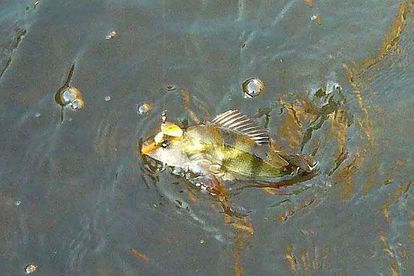 Fliegenfischen und Spinnfischen in der Kinzig und am Main / Barsch