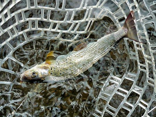 Der hessische Fliegenfischer mit neuen Nymphenmustern am Wasser.