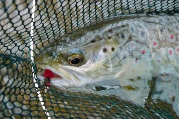 Fliegenfischen und Spinnfischen in der Kinzig und am Main / Bachforelle