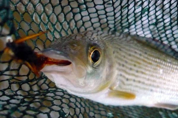 Fliegenfischen auf Äsche in der Kinzig Hessen