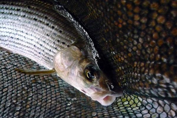 Fliegenfischen in der Kinzig // Äschen und Bachforellen