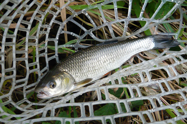 Fliegenfischen und Spinnfischen in der Kinzig und am Main / Döbel