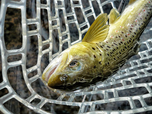 Fliegenfischen und Spinnfischen in der Kinzig und am Main