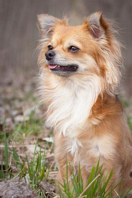 """Chihuahua """"Helene"""""""