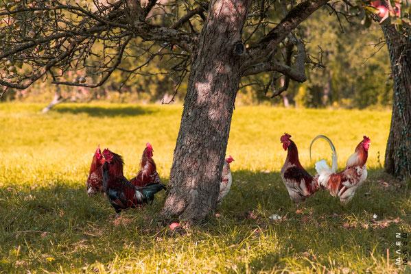 Hühner im Schatten