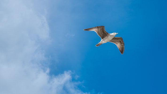 besonders schön gezeichnete Möwe, Die Mittelmeermöwe ist ein sehr seltener Brutvogel des Neusiedler See Gebiets.