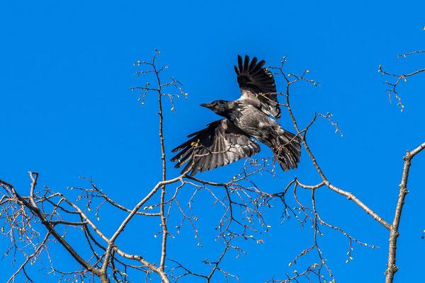 Krähe Crow